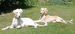 saluki-dog-puppies